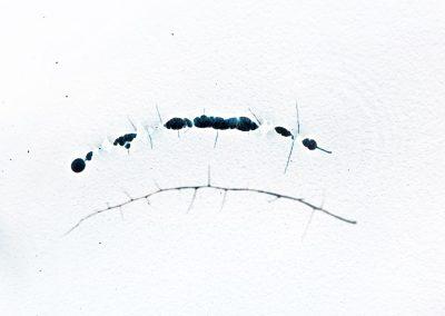 Hypericum hircinum-1